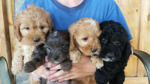 CUTE COCKAPOO PUPPIES! !!!!!!