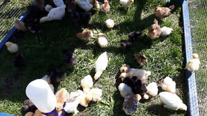 Chicks and Turkey Poults Available