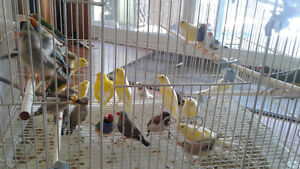 Finches & canaries