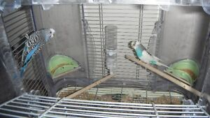 For sale a pair of young budgies