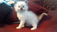 Only 1 male chocolate point ragdoll kitten left!