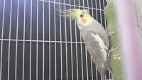 Cockatiel looking for good home!