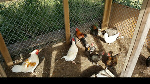 Bantams and Bantam/Hybrids Chickens