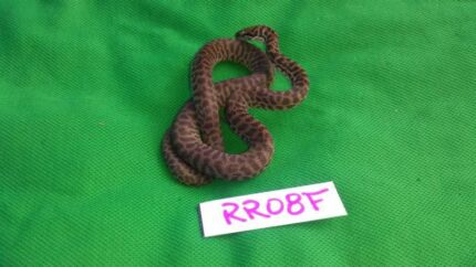 Children's python hatchies for sale or swap Cooroibah Noosa Area Preview