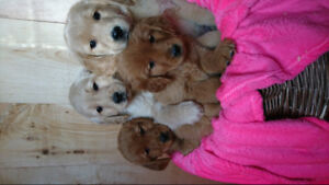 Golden Retriever puppies - Only two left!