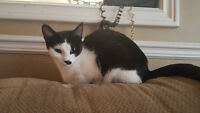 Female Tuxedo Cat Looking For A New Home