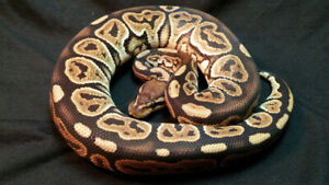 Lots of Ball Pythons Available!