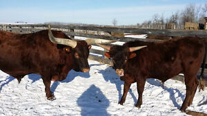 Longhorn Cows For Sale