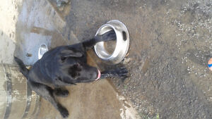22 month Female Black Lab Needs New Home