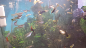 Guppies and trumpet snails