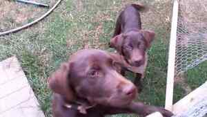 Chocolate labs for sale
