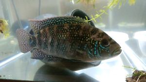 young Jack Dempsey cichlid