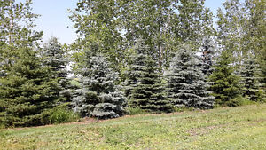 Colorado Blue spruce trees