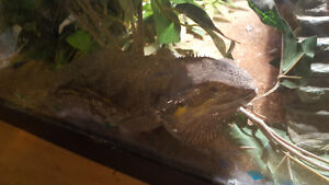 Bearded dragon looking for loving home