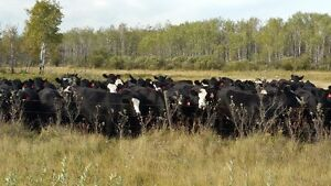 Premium Black and Black Baldy Bred Heifers Moose Jaw Regina Area image 5