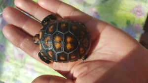 Beautiful Cherryhead tortoise baby for sale