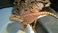 Juvenile Bearded Dragon and entire set up!