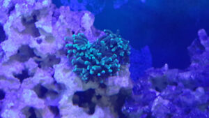 Green Hammer Coral 3 heads