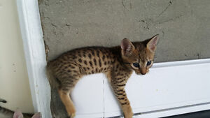 F6 Savannah Kittens avail Similar to bengal cat, only better!