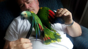 Blue Fronted Talking Amazon