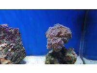 Hammer Coral on live rock (not a frag)