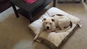 8 month old Pure Bred American Bulldog