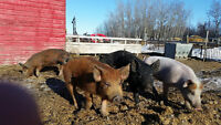 feeder pigs and young boars