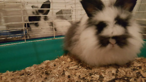 Two Lionhead Bunnies with Cages