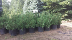 Black Cedars, Emerald Cedars For Sale!