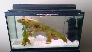 30 gallon aquarium with green spotted puffer