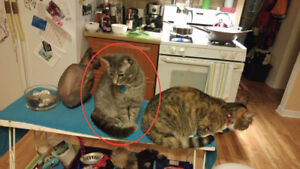 Young grey female tabby missing