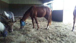 Very Well Bred 2 year old Quarter Horse