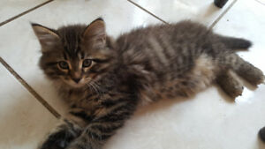 Perrrrrfect Long Haired Kittens Only 2 Left