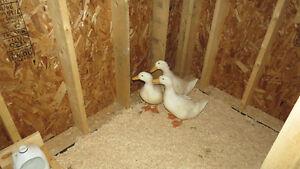 Female Pekin Duck