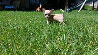 Chihuahua enregistres CCC/CKC registered