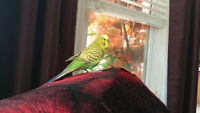 Grapes green budgie for free,,,,,