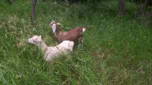 2 Naturally Polled Dairy Goats. Healthy Organic free range