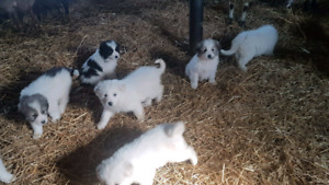 Great Pyrenees x Maremma Pups