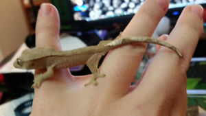 Baby Crested Gecko PIPER Kingston Kingston Area image 2