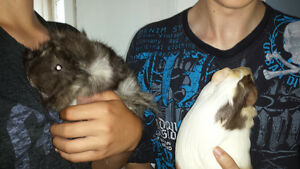 2 Female Guinea Pigs looking for home