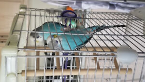 2 Male Blue Budgies For Rehoming $50