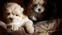 Smart Shihpoos (Shih tzu and Poodle)