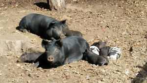 Organic Guinea Hog and Guinea HogX Mulefoot Pigs and Piglets