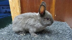 Purebred Netherland dwarf babies for sale with unique colours