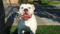American Bulldog Puppies for sale (GOING FAST) 1-female 1-males