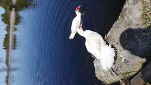 Muscovy duck trios. Great brooders!