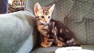 Bengal Marble Kittens for Sale !!!