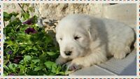 Great guard/farm dogs (Great Pyrenees puppies for sale)