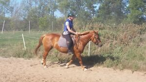 fancy large hunter Warmblood pony