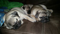 3 Pure bread Pugs for sale